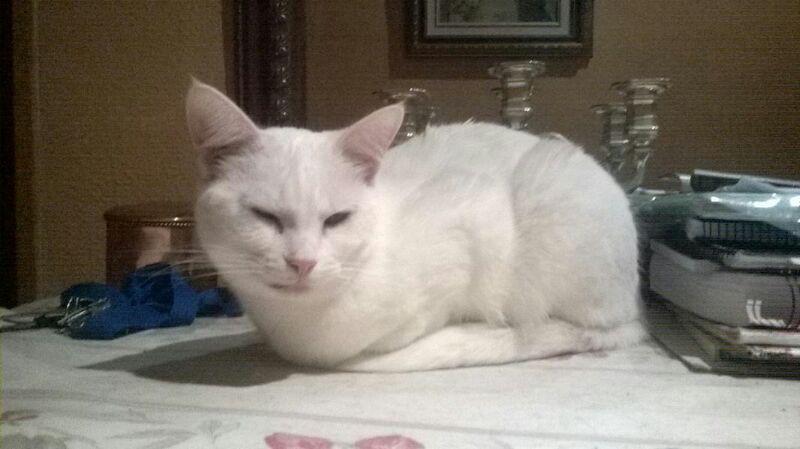 CHARLI  blanc aux yeux  couleur or  B312