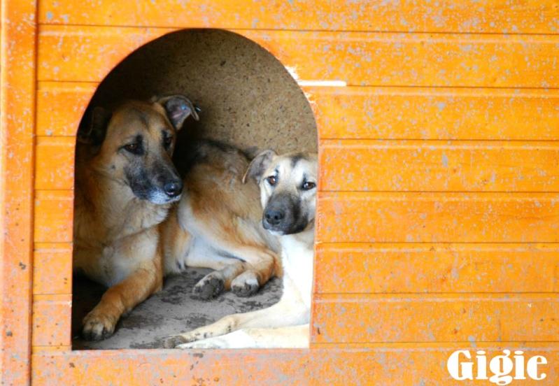 Nana, mère des chiots des ruines, 6 ans - Adoptée ! Gigie11