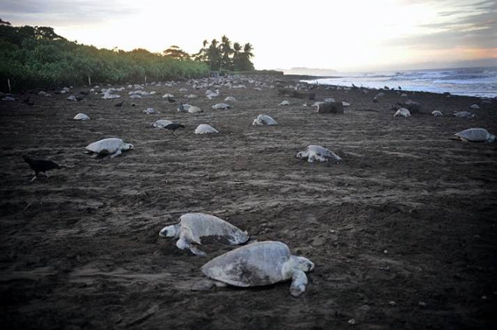 De la protection des tortues marines au Costa Rica Tortue10
