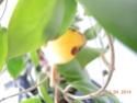Bei Mindorensis werden Blätter gelb Dscn0110
