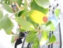 Bei Mindorensis werden Blätter gelb Dscn0111