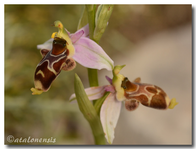 Ophrys corbariensis Op_cor14