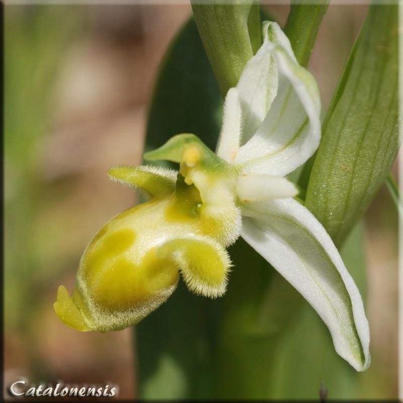 Ophrys scolopax Op_sco14