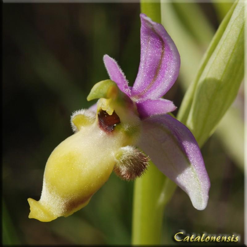 Ophrys scolopax Op_sco15