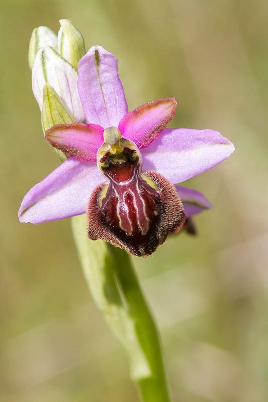 Ophrys aveyronensis ( Ophrys de l'Aveyron ) 20130665