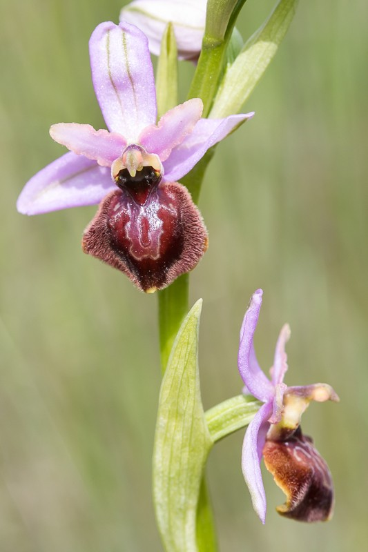 Ophrys aveyronensis ( Ophrys de l'Aveyron ) 20130666