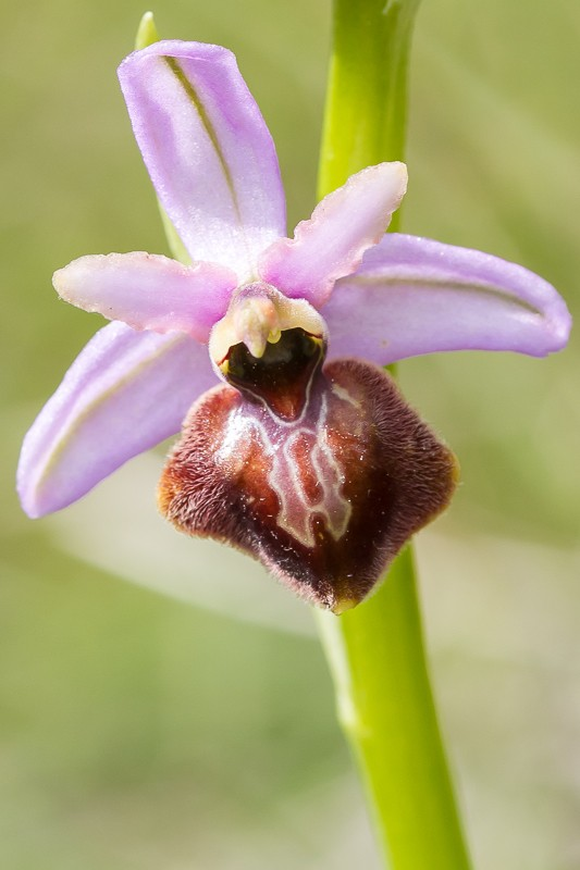Ophrys aveyronensis ( Ophrys de l'Aveyron ) 20130668