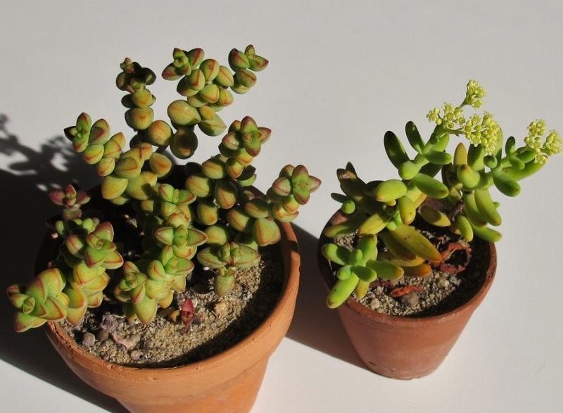 Crassula brevifolia 00115