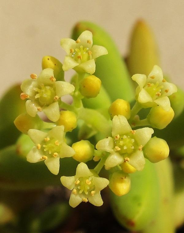 Crassula brevifolia 01012