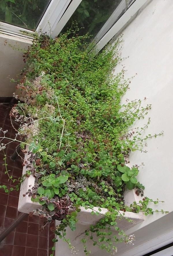 Succulentarium bis. 01611