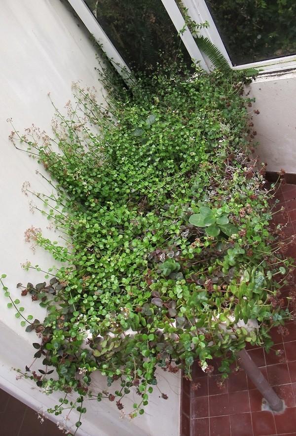 Succulentarium bis. 01711