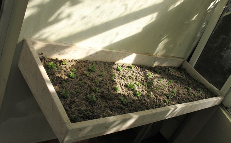 Succulentarium bis. 01811