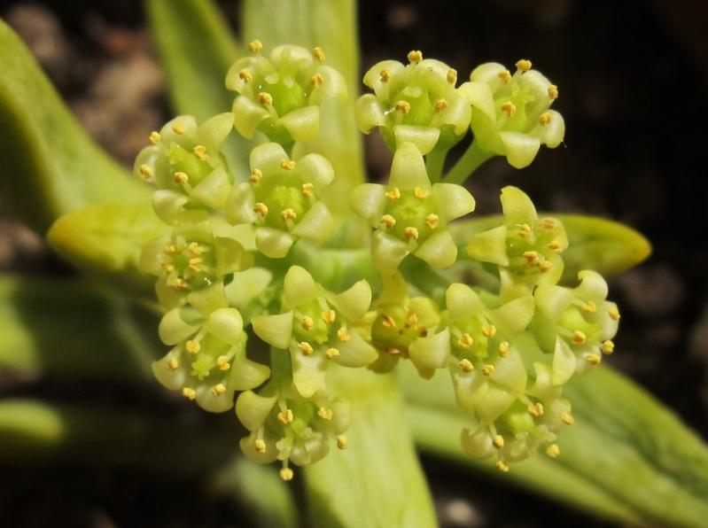 Crassula brevifolia 04413