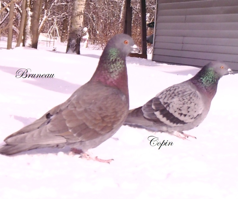 pigeons Sunp1010