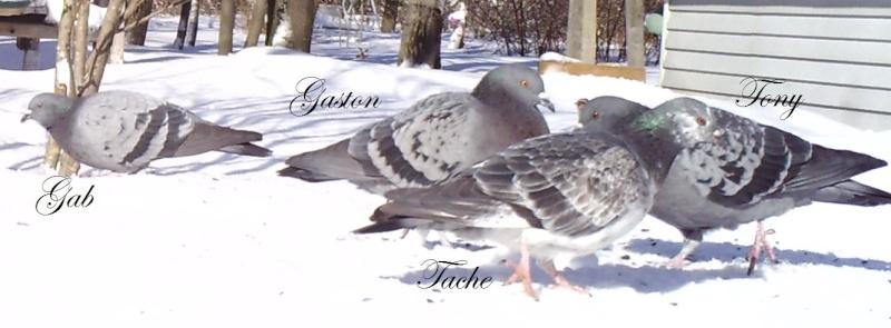 pigeons Sunp1110