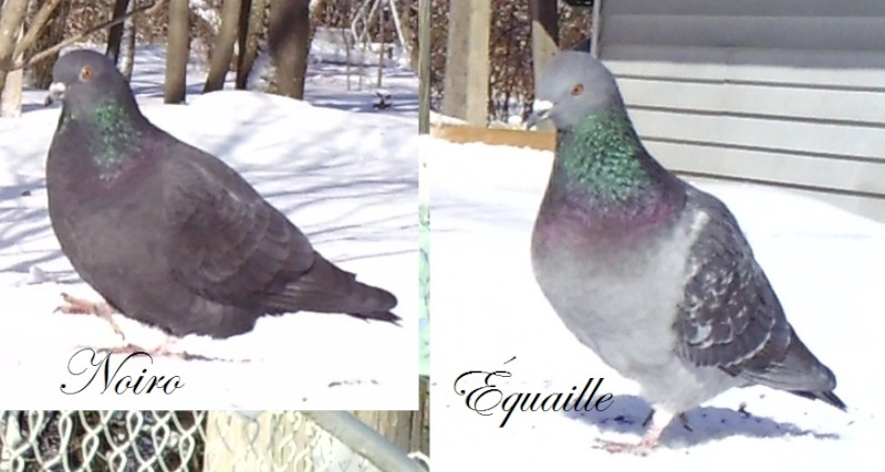 pigeons Sunp1111