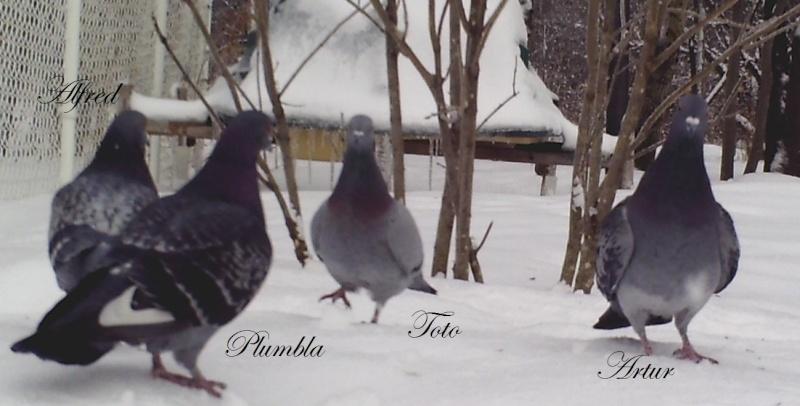 pigeons Sunp1210