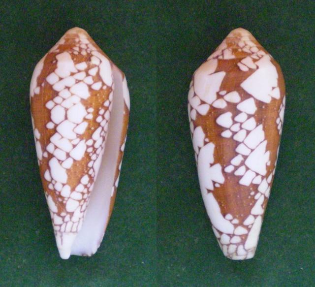 Conus (Darioconus) episcopatus   da Motta, 1982  - Page 4 Panora11