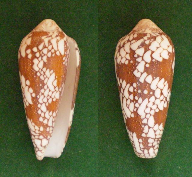 Conus (Darioconus) episcopatus   da Motta, 1982  - Page 4 Panora12