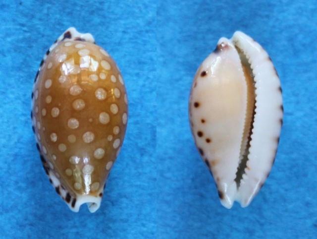 Cribrarula cumingii - (Gray, 1832) & Cribrarula cumingii cleopatra - Sowerby 1832 Panora18
