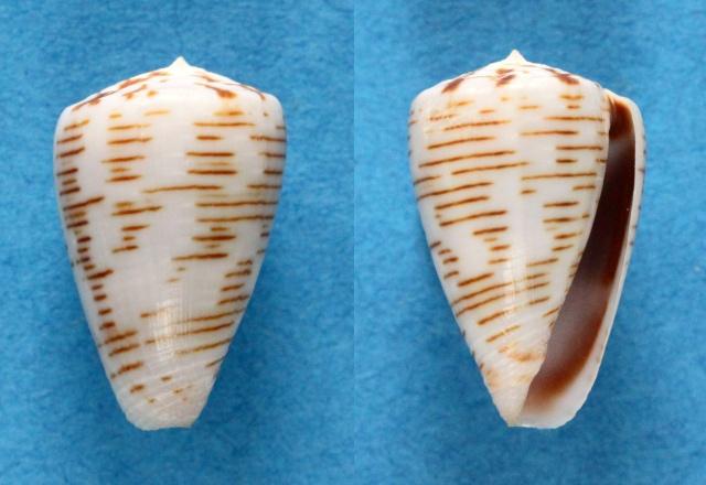 Trovaoconus pseudonivifer (Monteiro, Tenorio & Poppe, 2004) Panora22