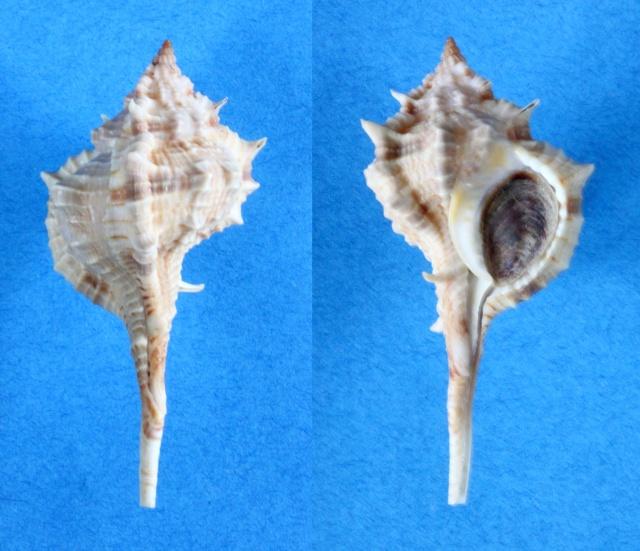 Vokesimurex chrysostoma - (G. B. Sowerby II, 1834) Panora34
