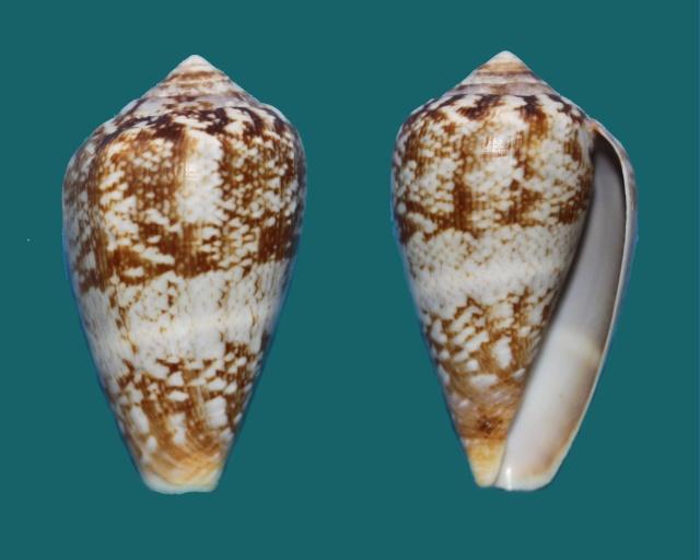 Conus (Lautoconus) hybridus - Kiener, 1847 Panora54