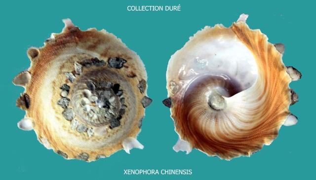 Stellaria chinensis - (Philippi, 1841) Panora57