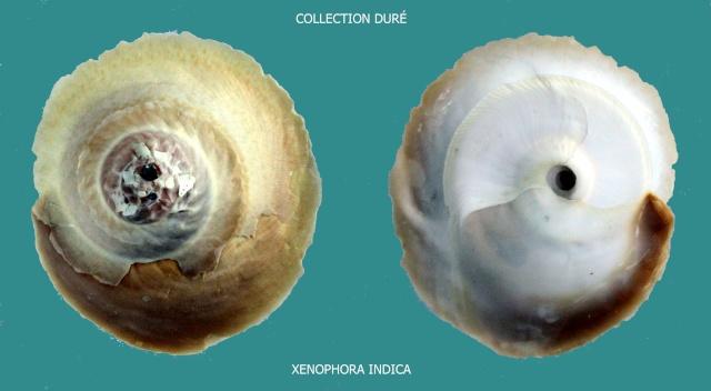 Onustus indicus - (Gmelin, 1791) Panora59