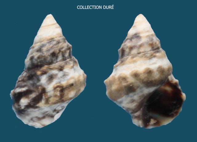Echinolittorina tuberculata - (Menke, 1828) Panora64