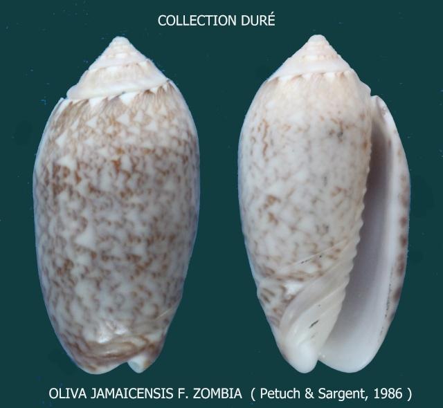 Americoliva jamaicensis zombia (Petuch & Sargent, 1986) Panora69