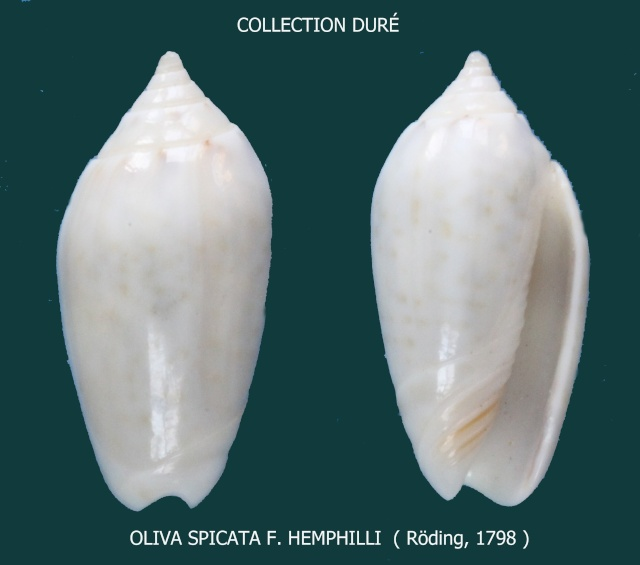 Americoliva spicata hemphilli (Ford in Johnson, 1915)  - Worms = Oliva spicata (Röding, 1798) Panora70