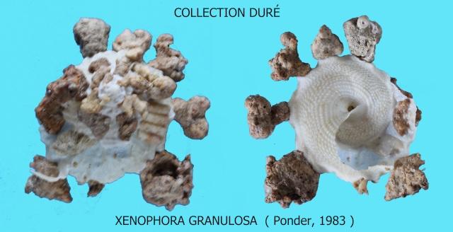 Xenophora granulosa - Ponder, 1983  Panora73