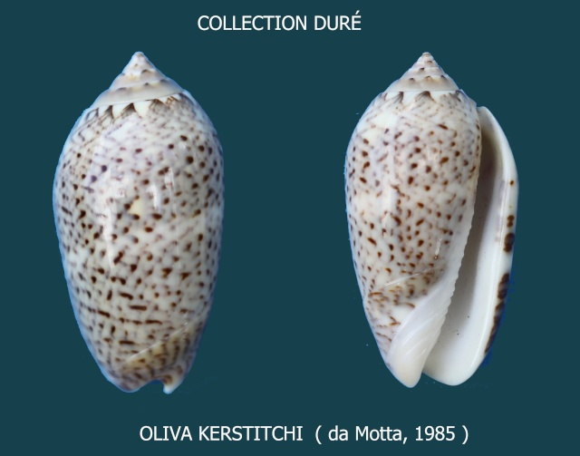 Americoliva kerstitchi (da Motta, 1985) Panora96