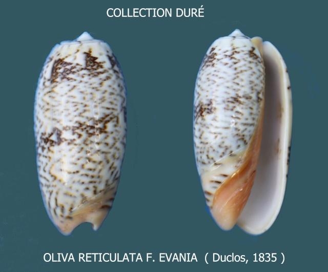 Viduoliva reticulata f. evania (Duclos, 1835) Panora97