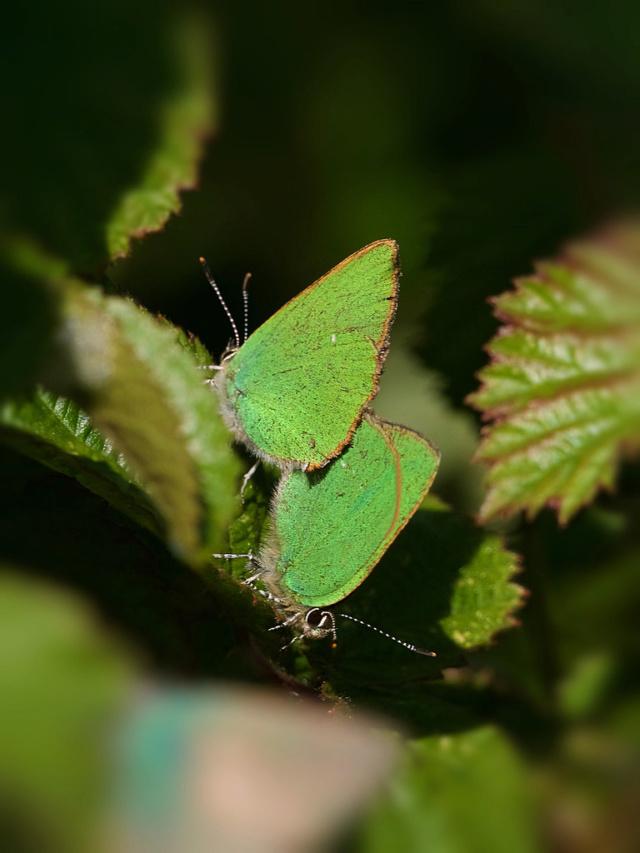 Accouplement d'argus verts de la ronce 46954211