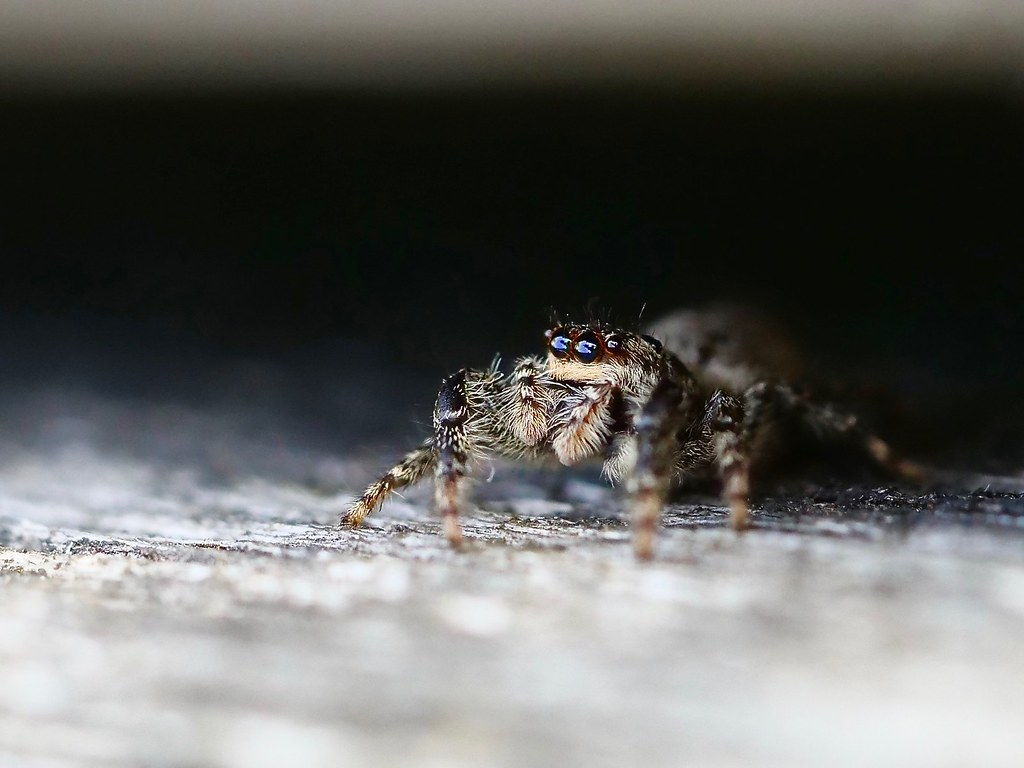 araignée sauteuse femelle (+ ajout du mâle) 48140510
