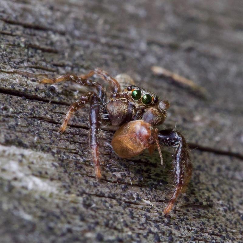 araignée sauteuse femelle (+ ajout du mâle) 48244611