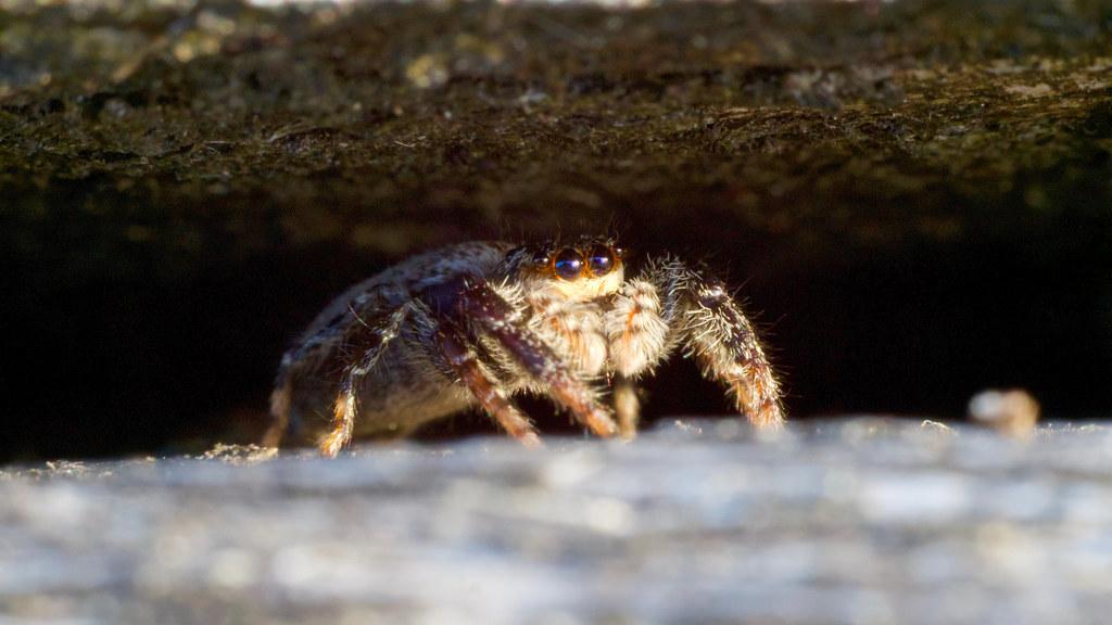 araignée sauteuse femelle (+ ajout du mâle) 48274711