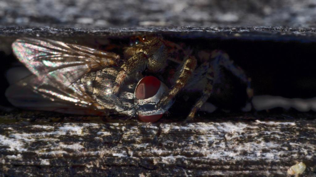 araignée sauteuse femelle (+ ajout du mâle) P1002610