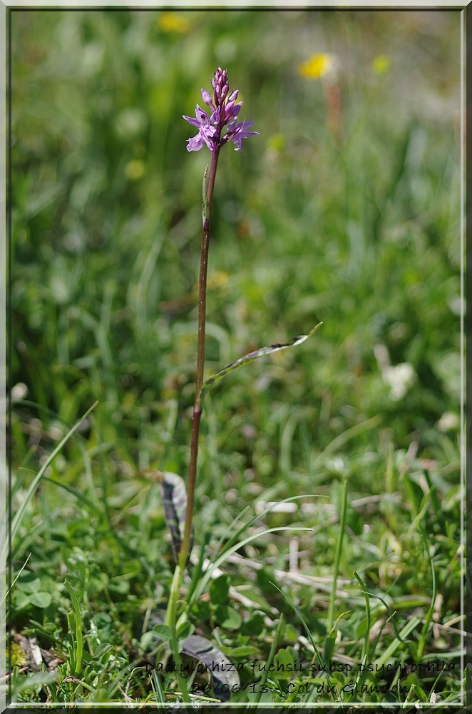 Dactylorhiza fuchsii var alpina Imgp2910