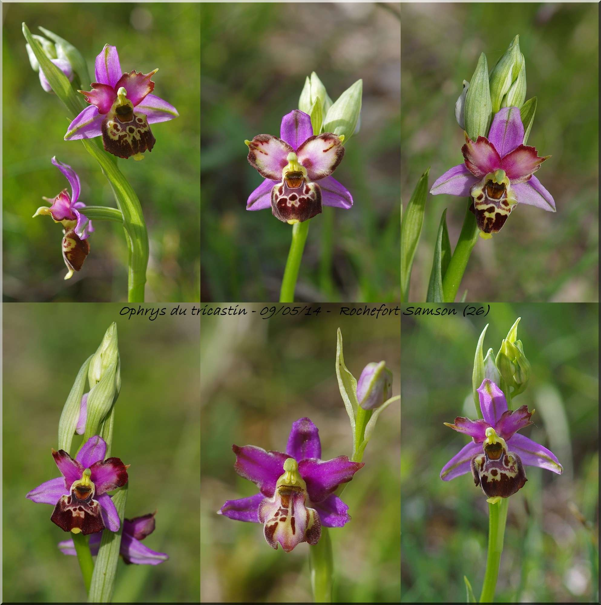 Ophrys pseudoscolopax Montag15