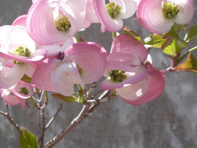 Arbuste à fleurs roses P1020410