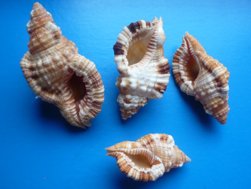 Triton de l'Ile Maurice à identifier = Monoplex aquatilis Aquati10