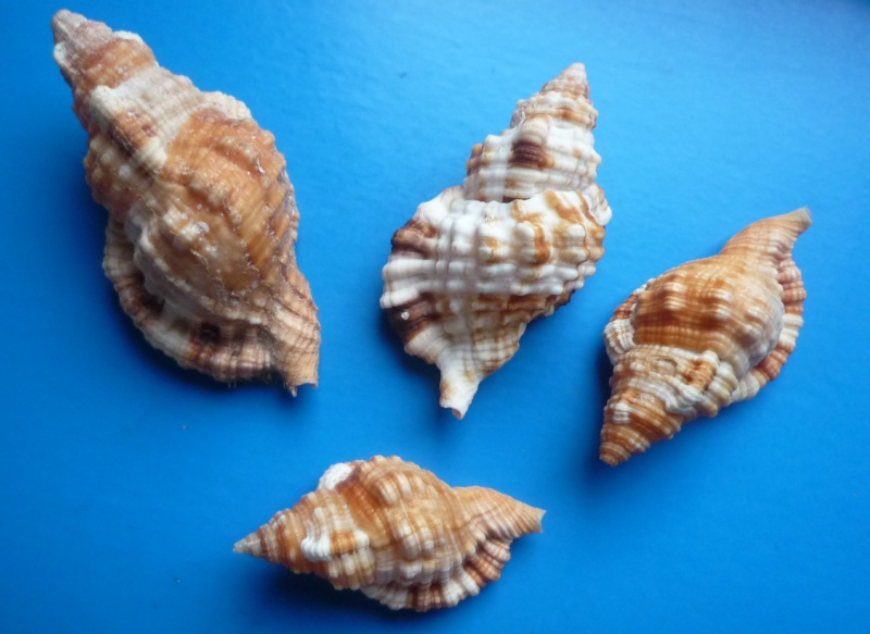 Triton de l'Ile Maurice à identifier = Monoplex aquatilis Aquati11