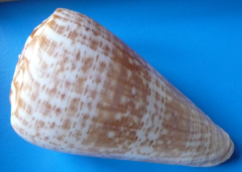 Conus (Kalloconus) pulcher  [Lightfoot], 1786 - Page 2 Conus_20