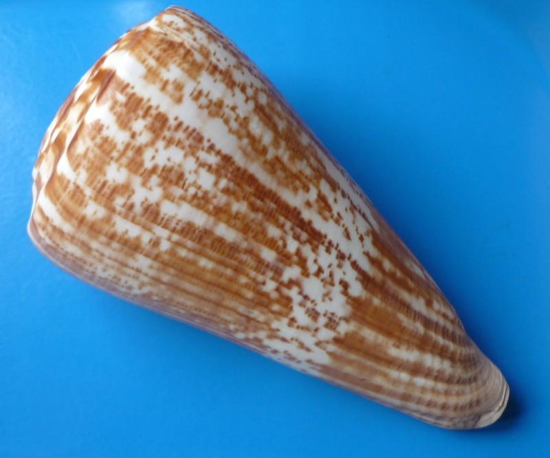 Conus (Kalloconus) pulcher  [Lightfoot], 1786 - Page 2 Conus_44