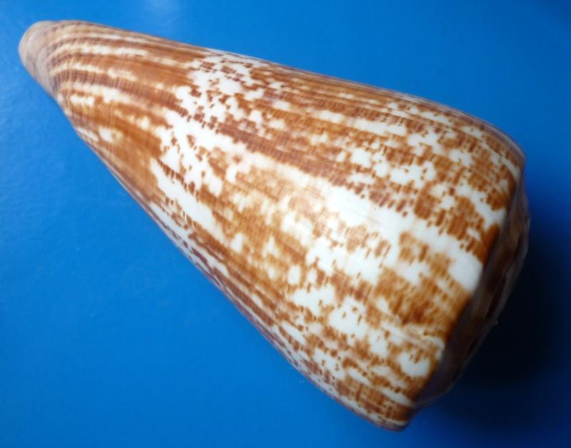 Conus (Kalloconus) pulcher  [Lightfoot], 1786 - Page 2 Conus_45