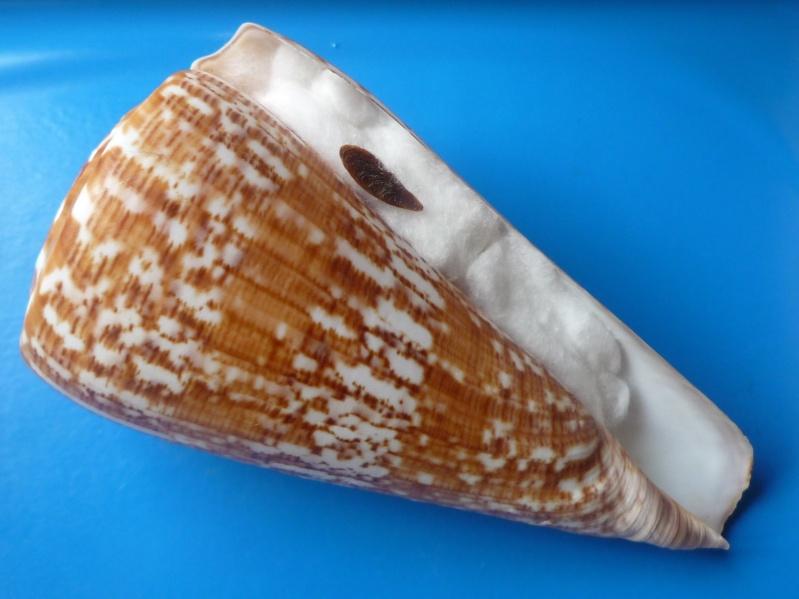 Conus (Kalloconus) pulcher  [Lightfoot], 1786 - Page 2 Conus_48