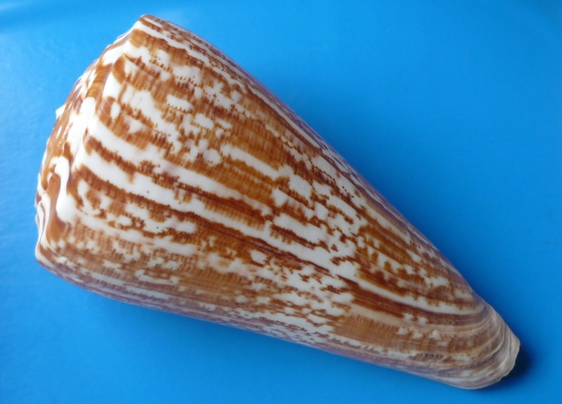 Conus (Kalloconus) pulcher  [Lightfoot], 1786 - Page 2 Conus_49